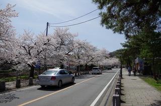 桜並木 宝登山神社